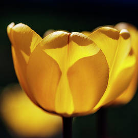 Yellow tulip glow  by Vishwanath Bhat