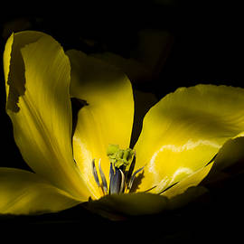 Inge Riis McDonald - Yellow  Tulip