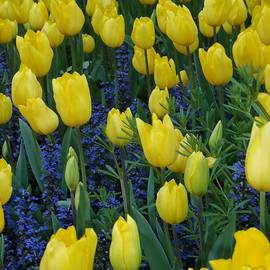 Yellow Tulips With Blue
