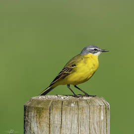 Yellow Wagtail perching on the roundpole a close-up by Torbjorn Swenelius