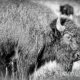 Janice Rae Pariza - Yellowstone Bison Black and White