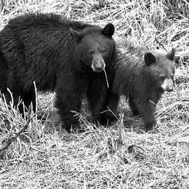 Yellowstone Black Bears In The Brush 2018 Black And White by Adam Jewell