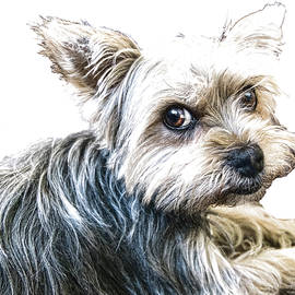Yorkshire Terrier - DWP2785087 by Dean Wittle