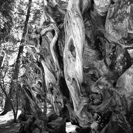 Yosemite Trees - Twisting by Dave Beckerman