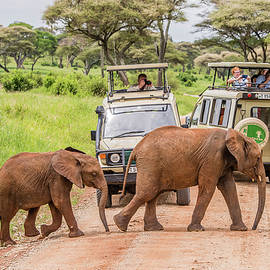 Morris Finkelstein - Young African Elephants Crossing the Road in Tarangire National Park