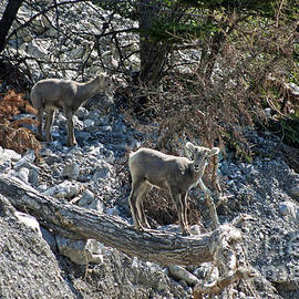 Young Big Horn Sheep - Jasper by Cindy Murphy - NightVisions