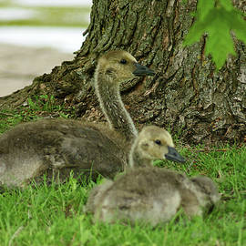 Maria Keady - Young Canada Geese