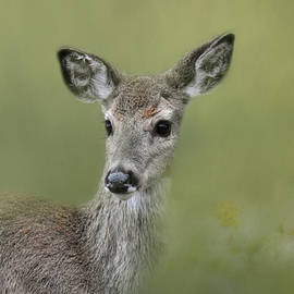 Young Deer In Spring by Jai Johnson