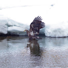 Young eagle in the ice by Jeff Swan