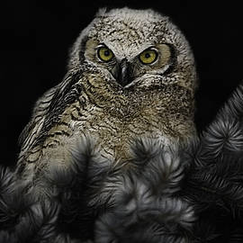 Young Great Horned Owl by Tammy Lauritsen