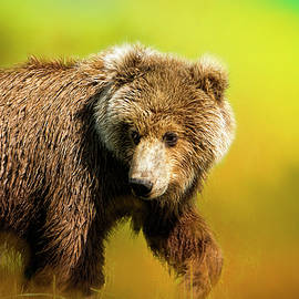 Young Grizzly by Phyllis Taylor