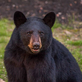 Young Male Black Bear by Brenda Jacobs