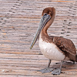 Young Pelican  by Maria Keady