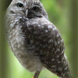 Young Snowy Owl by Dora Sofia Caputo Photographic Design and Fine Art