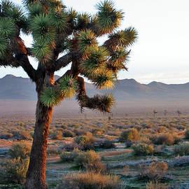 Langia Lybrook - Yucca Tree