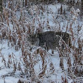 Yukon Lynx 1 by Phyllis Spoor