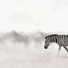 Zebra in Dust of Africa - Susan Schmitz
