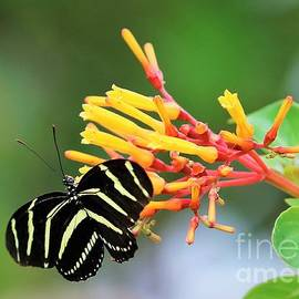 Diann Fisher - Zebra Longwing on Firebush