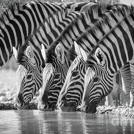 Drinking Zebras by Inge Johnsson