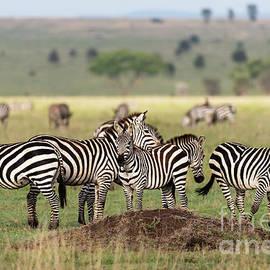 Zebras in Serengeti savannah by RicardMN Photography