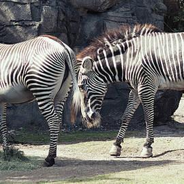 Mayra Pau - Zebras