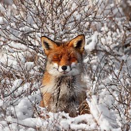 Zen Fox Series - Zen Fox in the Snow by Roeselien Raimond