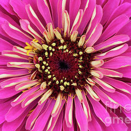 Tim Gainey - Zinnia Elegans Uproar Rose