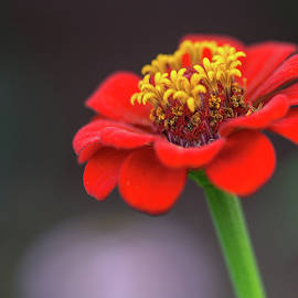 Zinnia in the Evening by Mitford Fontaine