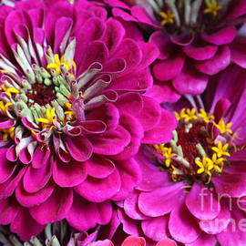 Zinnia Splendor by Dora Sofia Caputo Photographic Design and Fine Art