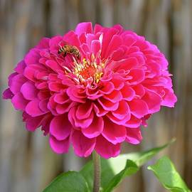 Richard Bryce and Family - Zinnia with Bee