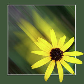 Zooming Yellow Daisy by Jerry Griffin