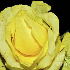 043/yellow Rose by Elvira Ladocki