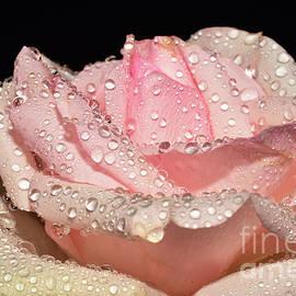 056/nice Rose Close Up by Elvira Ladocki