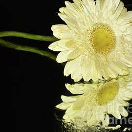 074-white Gerber by Elvira Ladocki
