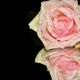 91-pink Rose by Elvira Ladocki