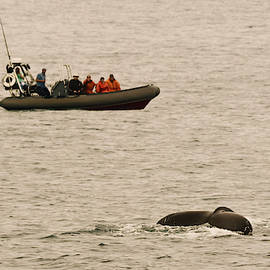 A Whale Watching Cruise Keeps Pace with a Humpback, San Diego, C by Derrick Neill