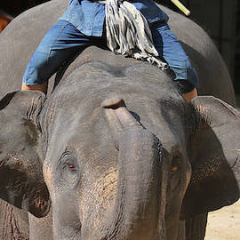 An Elephant and Rider, Chiang Mai, Thailand by Derrick Neill