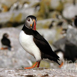 Jeannette Hunt - Atlantic Puffin