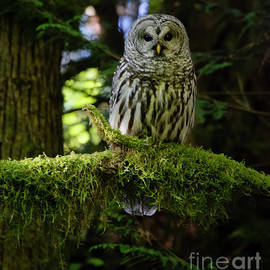 Barred Owl by Bob Christopher