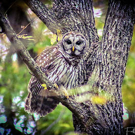 Barred Owl by Chad Fuller