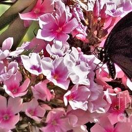 Black Swallowtail Butterfly On Sweet William Blooms         July        Indiana by Rory Cubel