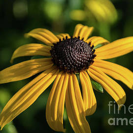 Blackeyed Susan by Michelle Meenawong