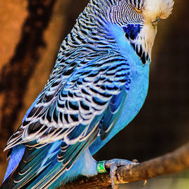 Blue And White Budgie by Rob D Imagery