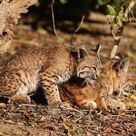 Paul Comish - Bobcat/Kitten