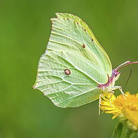 Brimstone Butterfly by Stephen Jenkins