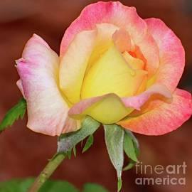 Budding Beauty - Rose by Cindy Treger