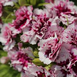 Burgundy and White Sweet William from the Super Bluepoint Duplex Mix by J McCombie