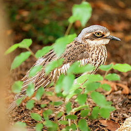 Bush stone-curlew by Rob D Imagery