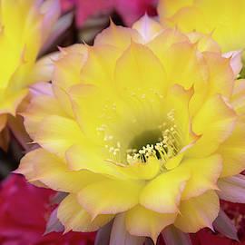 Cactus Flower by Steffen Gierok