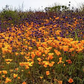 California Poppy Field by Norma Brandsberg